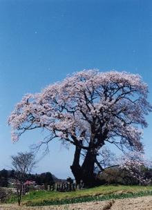 塩ノ崎の大桜の写真