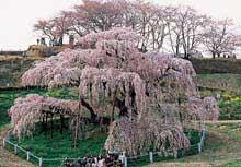 三春町 三春滝桜