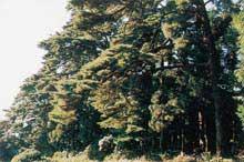 須賀川市 古寺山の松並木